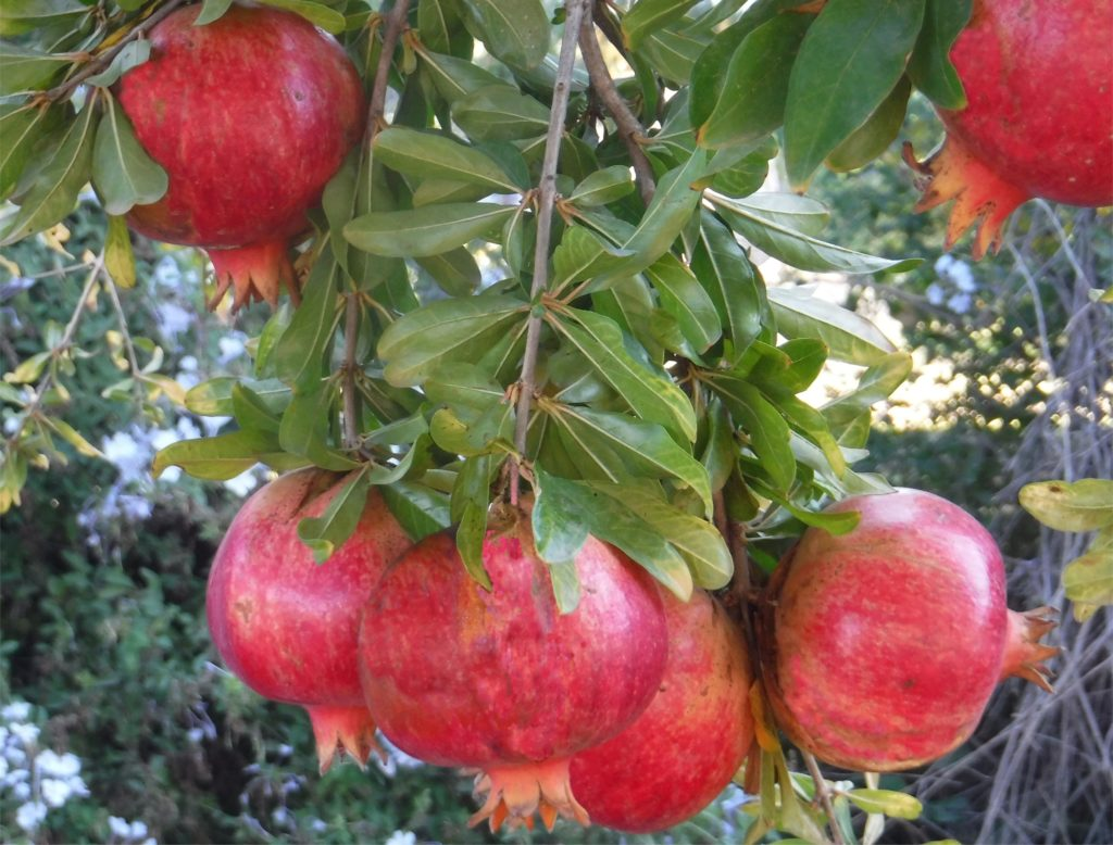 Pomegranates in our garden in Spain.