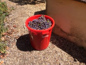Grapes picked.