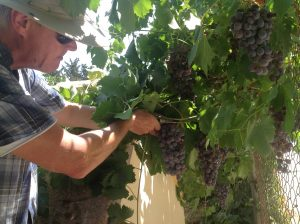 Harvesting our grapes.
