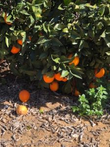 Oranges weighing down the tree branches.