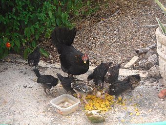 Demon chicken with her brood.